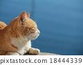 貓 貓咪 小貓 18444339