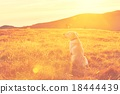 Dog at the sunset 18444439