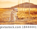 Dog at the sunset 18444441