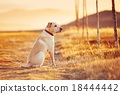 Dog at the sunset 18444442