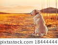 Dog at the sunset 18444444