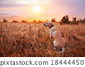 Dog at the sunset 18444450