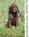 dog puppy brown 18448170