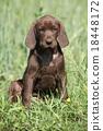 dog puppy brown 18448172