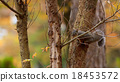 松鼠 動物 花鼠 18453572