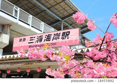 Kawazu Sakura Miura Coastal Station 18455892