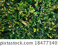 樹葉 18477340