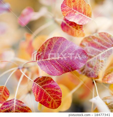 樹葉 18477341