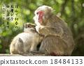 新年贺卡 贺年片 猴子 18484133
