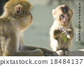 新年贺卡 贺年片 猴子 18484137
