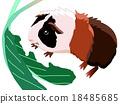 荷蘭豬 小動物 蔬菜 18485685