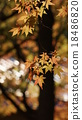 red leafe, maple, yellow leafe 18486820