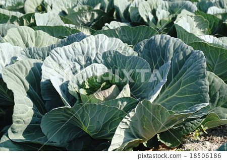 TPP Japanese agricultural cabbage field 18506186