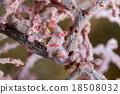 Pygmy Seahorse 18508032