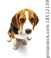 Beagle dog isolated on white 18512139