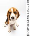 Beagle dog isolated on white 18512140