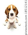Beagle dog isolated on white 18512141