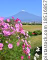 富士山 大波斯菊 花朵 18516857