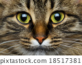 Cute muzzle tabby cat closeup 18517381