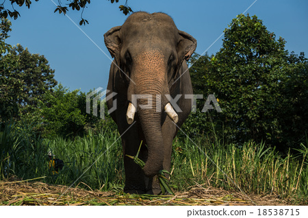 Elephant big 18538715