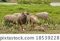 Asian water buffalo 18539228