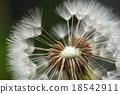 蒲公英 蓬鬆 棉花 18542911