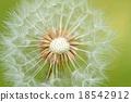 蒲公英 蓬鬆 棉花 18542912