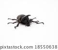 Rhinoceros beetle, Rhino beetle, Hercules beetle 18550638