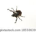 Rhinoceros beetle, Rhino beetle, Hercules beetle 18550639