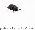 Rhinoceros beetle, Rhino beetle, Hercules beetle 18550642