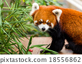 Red panda 18556862