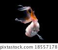 Gold fish 18557178