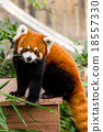 Red panda bear 18557330