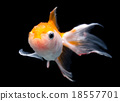 Goldfish isolated on black background 18557701