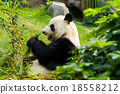 Panda eating bamboo 18558212