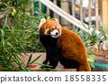 Red Panda 18558335