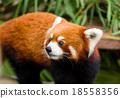 Curious red panda 18558356