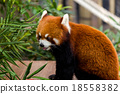 Red panda in zoo 18558382