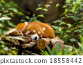 Red panda sleeping on the tree 18558442