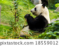 Giant Panda eating bamboo 18559012
