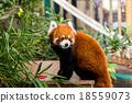Red panda bear 18559073