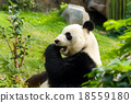 Panda having meal 18559180