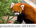 Red Panda 18559264