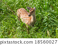 Wildness roe deer 18560027