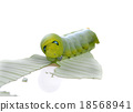 caterpillar of  butterfly on leaf 18568941