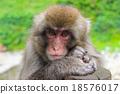 猴子 猴 日本獼猴 18576017