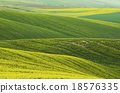 Rapeseed yellow green field in spring 18576335