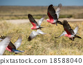 Australia cacatua galahs close up portrait 18588040