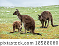 Kangaroos mother father and son portrait 18588060