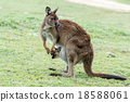 Kangaroos mother father and son portrait 18588061